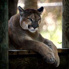 Beautiful Mountain Lion