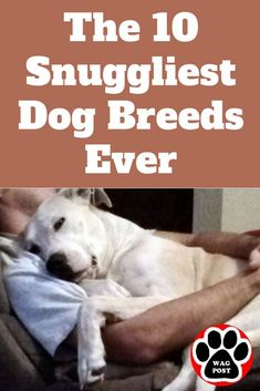 Looking for a super-affectionate dog breed? This list is full of bed-warming snooze-sharing kiss-giving pups. Looking for a super-affectionate dog breed? This list is full of bed-warming snooze-sharing kiss-giving pups. Calm Dog Breeds, Types Of Dogs Breeds, Best Dog Breeds, Dog Breeds List Of, Dog Breeds That Dont Shed, Smartest Dog Breeds, Dog Types, Large Dog Breeds, Best Dogs For Kids