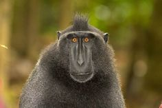 celebes-crested-macaque-alpha-male-img_1546.jpg (750×500)