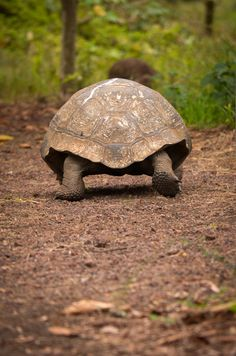 Your big tortoise is a source of pleasure to you. You bought the turtle so you can have more fun with family members and friends. Baby Tortoise, Tortoise Care, Giant Tortoise, Tortoise Turtle, Beautiful Creatures, Animals Beautiful, Cute Animals, Turtle Love, Young Animal