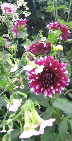 Dahlias, can't wait for mine to start growing!!!!