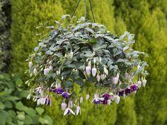 Royal Mosaic #Fuchsia #hangingbasket #flowersallsummerlong #garden #plants #flowers