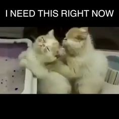 Funny Quotes Animals Cats Laughing Kittens 29 Ideas For 2019 Funny Animal Videos, Cute Funny Animals, Funny Animal Pictures, Cute Baby Animals, Funny Cute, Animals And Pets, Cute Cats, Funny Pics, I Love Cats