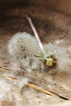 make a wish, dandelion, dente de leão, sair voando