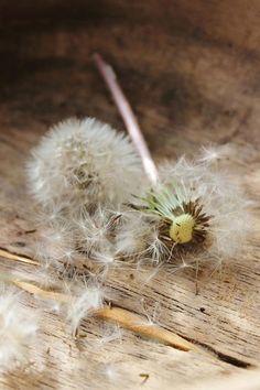 make a wish, dandelion, dente de leão, sair voando