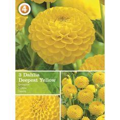 Vårløk Dahlia Pompon Deepest Yellow