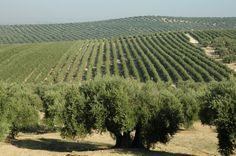 La producción mundial de aceite de oliva descenderá un 11%, según la previsión de GEA Iberia