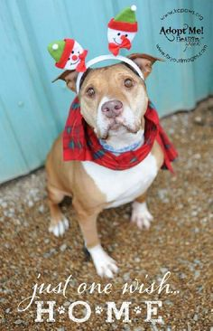 8/21/15 STILL WAITING!!!! Meet Edna, a Petfinder adoptable Pit Bull Terrier Dog | Kansas City, KS | A Pit Bull full of love and in need of cuddlingEdna is around 9-10 years old. She is a lover with...