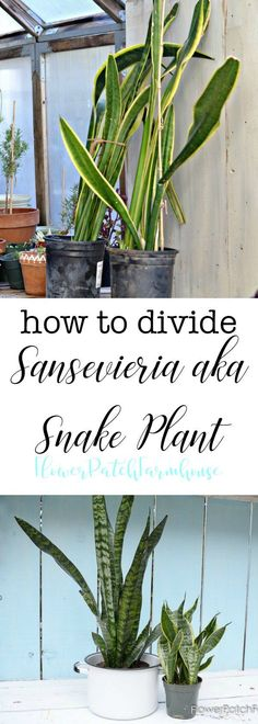 How to Divide Sansevieria plant also known as Snake Plant or Mother in Law's Tongue.  #sansevieria #plantdivision #houseplants via @FlowerpatchPam