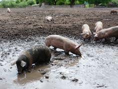 Our local pigs love mud and we love to watch them playing in the mud.