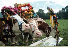 Kühe mit Kopfschmuck beim Almabtrieb, Feste in Bayern, Bayern, Deutschland