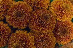 Orange Paladov Dark Chrysanthemum at New Covent Garden Flower Market November 2016