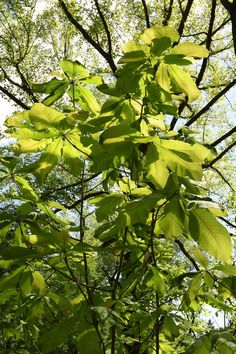 Meet A Tree: The Bigleaf Magnolia (Magnolia macrophylla)
