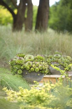 hens and chicks succulents in containers ; Gardenista