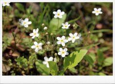 4월의 야생화 봄맞이 꽃입니다. 하얀꽃이 땅 가까이에서 피니 땅이 화사합니다. 봄에 피는 꽃이름으로 봄맞...