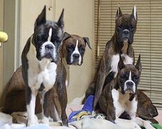 Boxer Dogs You can never be too rich, too thin or have too many boxers! Boxer And Baby, Boxer Love, Beautiful Dogs, Animals Beautiful, Cute Animals, Boxers, Dogs And Puppies, Doggies, Family Dogs