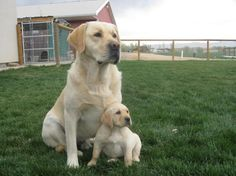 "english labrador retriever | LABRADOR RETRIEVER PUPPIES SIRED BY ""GOOSE"""