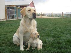 "english labrador retriever | LABRADOR RETRIEVER PUPPIES SIRED BY ""GOOSE"""