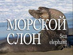 Морской слон — Sea elephant