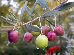 Olives: Kalamata (Greece, purple), Castelvetrano (Italy, bright green), Cerignola (Italy, large, green), Nyon (France, small, black, aromatic), Niçoise (France, dark, strong), Liguria (Italy, strong, herb cure), Gaeta (Italy, brown, wrinkly, citrussy), Picholine (France, green, crisp), Gordal (Spanish, large, green), Alfonso (Chile, purple, large, juicy), Manzanilla (Spain, green), Beldi (Morocco, dry cure, flavourful, black), Amfissa (Greece, purple, soft). | Hannah Howard on serious eats