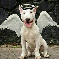 A Bull Terrier Angel Miniature Bull Terrier, English Bull Terriers, Staffordshire Bull Terrier, Cute Dogs, Funny Dogs, Bull Terrier Bebe, Pitbull Terrier, Dog Lovers, All Dogs