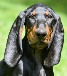Get to Know the Black and Tan Coonhound, a Southern Charmer