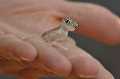 Small Israeli Dune Gecko (he looks ready to sell you insurance) HE'S SO CUTE!!!