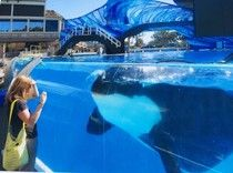 A Visit To SeaWorld's Longest-Serving Prisoner 47 year old Corky  https://www.thedodo.com/community/christinec/corky-the-longest-held-orca-in-663461562.html?xrs=RebelMouse_tw