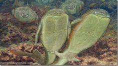 Un pez de Escocia se erige como el copulador más veterano del planeta - http://panamadeverdad.com/2014/10/20/un-pez-de-escocia-se-erige-como-el-copulador-mas-veterano-del-planeta/