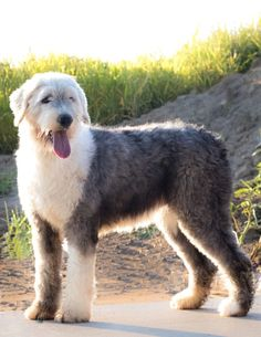70 lb old english sheepdog Old English Sheepdog Puppy, English Dogs, Funny Dog Photos, Funny Dogs, Hypoallergenic Dog Breed, Cute Puppy Breeds, Norwich Terrier, Puppy Day, Bebe