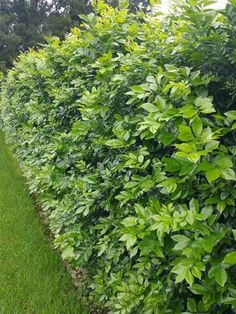 Murraya Hedge, Murraya Paniculata, Hedging Plants, Landscaping Plants, Shrubs, Landscape Design, Garden Design, Screen Plants, Garden Hedges