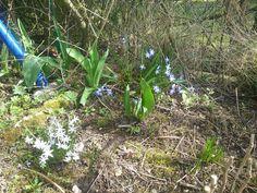 Frühling in meinem Garten Blausternchen
