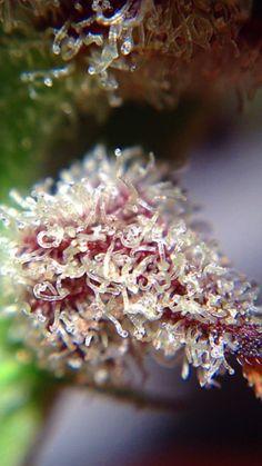 Medical Marijuana Quality Matters- Repined-5280mosli.com -Organic Cannabis College- Top Shelf Marijuana- | #OrganicCannabis