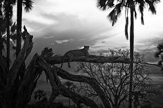 Monochrome leopardess