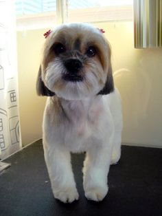 """""""Japanese Style Dog Grooming"""" was the caption, but a dog groomer said this isn't a cultural dog groom, it's a teddy bear round face and well trimmed legs. Dog Grooming Styles, Dog Grooming Shop, Dog Grooming Business, Grooming Salon, Japanese Dog Grooming, Japanese Dogs, Japanese Style, Lhasa Apso, Shih Tzu"""