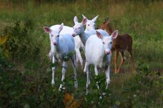"""""""The Wild Bunch"""" Wild Albino whitetail deer of Boulder Junction Wisconsin Boulder Junction, Albino Deer, Melanistic Animals, The Wild Bunch, Deer Photos, Scenery Photography, State Forest, Rare Animals, Bouldering"""