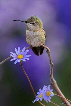 Hummingbird ~ Colibri