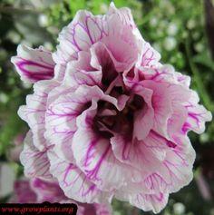 Double petunia flowers http://www.growplants.org/growing/double-petunia