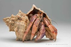 Hermit Crab - I had a bunch of these as a kid. I almost bought a miniature crab when I was in Florida but decided against for financial reasons. Underwater Creatures, Ocean Creatures, Curious Creatures, Weird Creatures, Crab House, Crab Art, Crab Shells, Crab And Lobster, Insect Photography