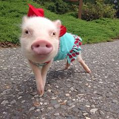 But it's Priscilla who steals the style show. | This Pig Has A Better Wardrobe…