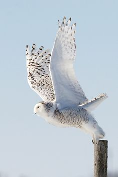 Snowy Owl / Harfang des neiges - Taking off from fencepost. Snowy Owl, Beautiful Owl, Animals Beautiful, Owl Bird, Pet Birds, Bird Kite, Birds 2, Angry Birds, Flying Birds