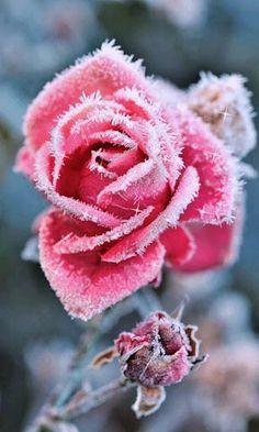 Jack Frost gave Elsa this rose...❤️❄️