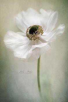 Single White | Jacky Parker Flower Photography | Flickr
