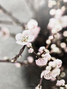 #cherryblossoms #flowers #love