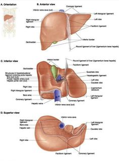 The liver human anatomy liver picture definition function the liver detoxifies and stores blood especially when were resting or sleeping as supreme commander of metabolism the liver makes and stores sugar as ccuart Image collections