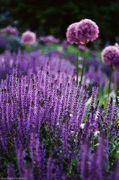 Salvia and allium