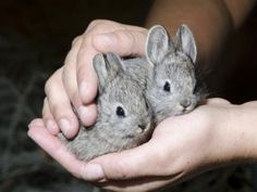 "dailybunny: "" Oregon Zoo Releases Pygmy Rabbits into the Wild Via Zooborns, which writes: "" The Oregon Zoo's effort to save the endangered Columbia Basin Pygmy Rabbit drew to a close on July. Tiny Bunny, Baby Bunnies, Cute Bunny, Adorable Bunnies, Beautiful Creatures, Animals Beautiful, Animal Pictures, Cute Pictures, Somebunny Loves You"