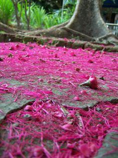 Pink flowers rug in Santa Tecla.   Preciosa alfombra del arbol de maranon japonés. El Salvador, Foto: Paty Silva