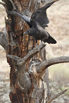 Young raven testing its wings (Photographer: Norman Rich) ❤❦♪♫