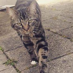 Walking #😺⚘ Happy mothers day! #Bonya #Meow #meowpagecats #allaboutcats #tabbycatsofinstagram #gatto #bengalcross #mainecooncross #bengalmaincoon #cats #catstagram #catsagram #catsinstagram #catslovers #tabbycats #whenyouhaveacat #tabbycat #cat #catsface #mycat #catseyes #funnycat #instacat #best_meow #bestmeow #bengalmainecoonmix #кот